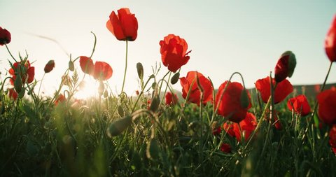 Poppy flowers on the spring field.Slow motion, wind and sun light nature background video footage, dolly shot
