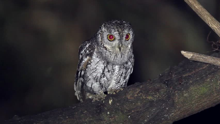 In the night Oriental Scops Owl standing in the branch waiting for food at the forest southern Thailand