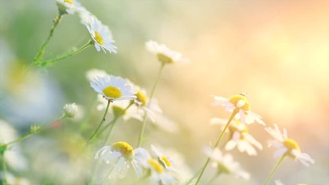 Chamomile flowers field close up with sun flares. Daisy flowers. Beautiful nature scene with blooming medical chamomilles in sun flare. Sunny day. Summer flowers. ?amomille background. 4K UHD video