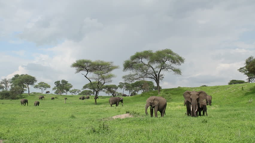 Panoramic shot of Elephant herd on green grassed plains.