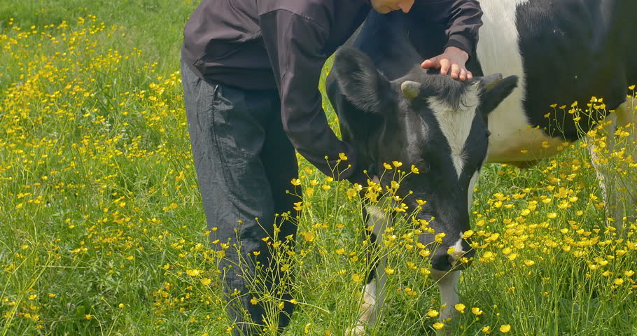 Young man stroking a cow at the field.