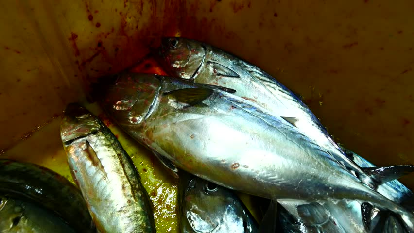 Small tuna fish were put in the fishing box during a night fishing trip.