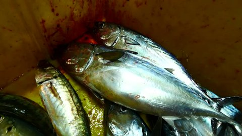 Small tuna fish were put in the fishing box during a night fishing trip.
