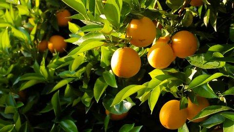 A woman's hand tears an orange off an orange tree