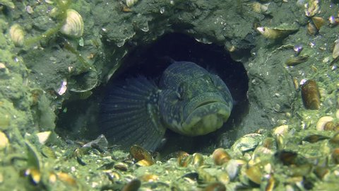 Reproduction of Grass goby (Zosterisessor ophiocephalus): the male hides in a burrow, picking up a cloud of dreg, close-up.