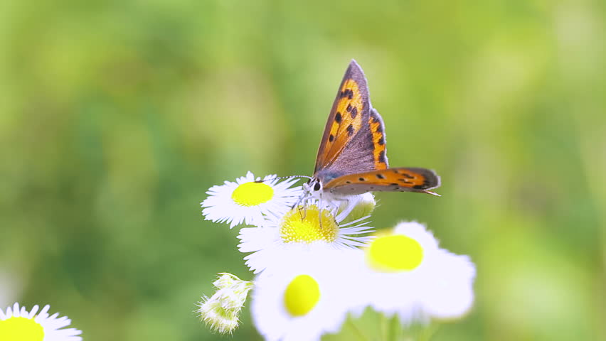 Header of lycaena