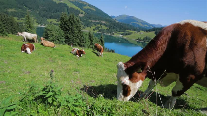 Cows grazing on the green and gorgeous meadow of Europe