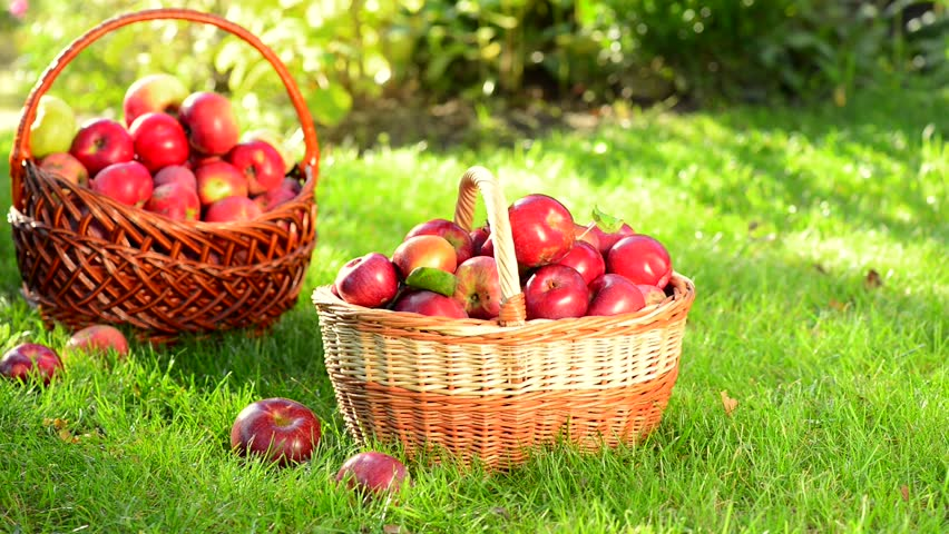 Healthy Hd Fruit Basket Wallpaper: Organic Apples In A Basket Outdoor. Orchard. Autumn Garden