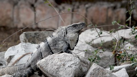 Iguana on a rock in the Mayan ruins of Uxmal, Mexico