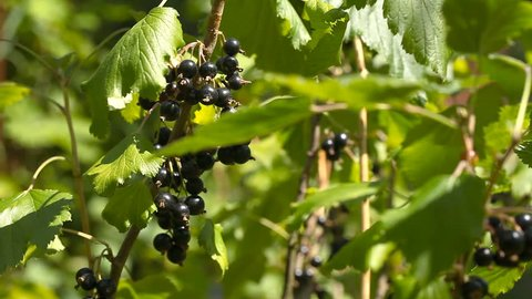 A bunch of black currant on bushes / A bunch of black currant on the bushes. Branches of black currant sway from the wind