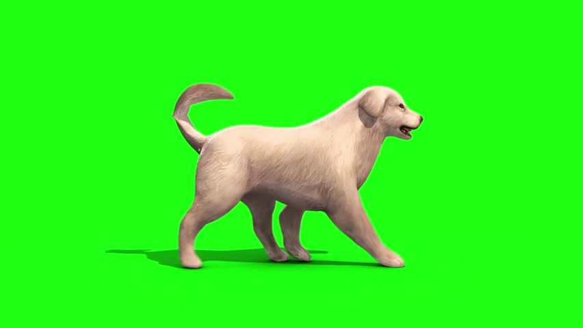 White Big Dog Walkcycle Side Green Screen 3D Rendering Animation