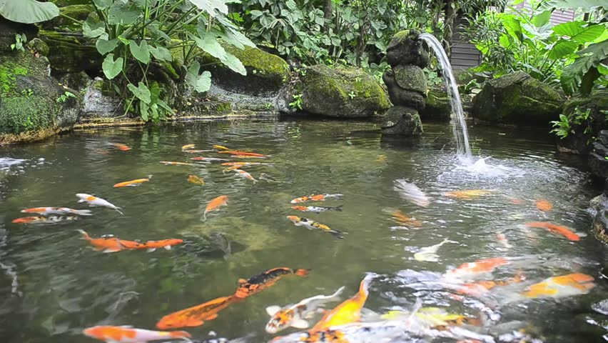 Stock video of koi fish in pond drink fresh 2833444 for Surface fish ponds