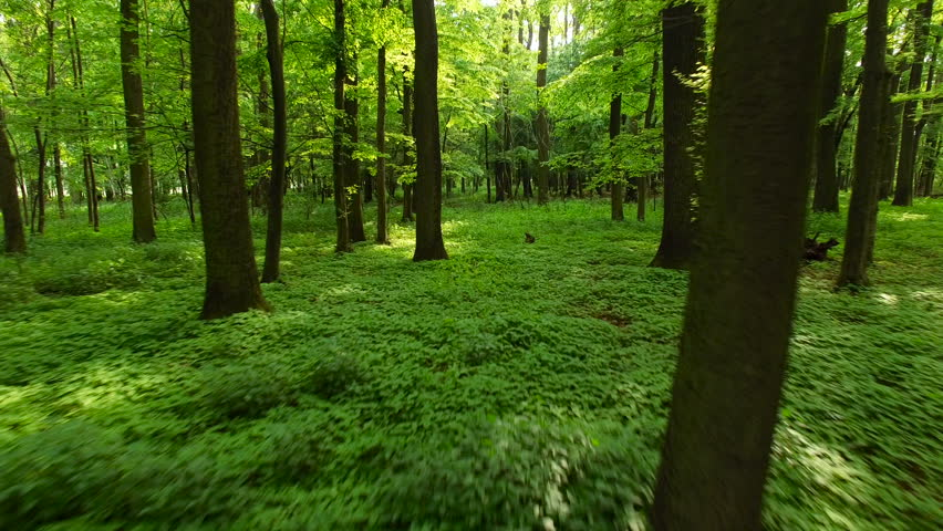 Camera moving forward through the forest, low over forest floor covered in green plants. Gornje Podunavlje, Serbia.