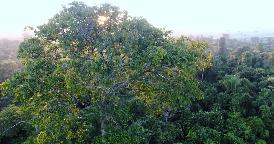 Flying around a Brazil-nut tree in the Amazon rain forest | Shutterstock HD Video #28403824