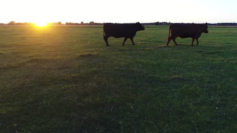 Low altitude aerial during sundown near Aberdeen Angus cattle drone moving to the right first showing two cows walking slowly to right then running away these cows are well known for beef production