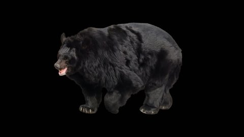 Asian black bear walking seamlessly looped on black screen, real shot, isolated on alpha channel premultiplied with black and white luminance matte, perfect for digital composition, cinema, 3d mapping