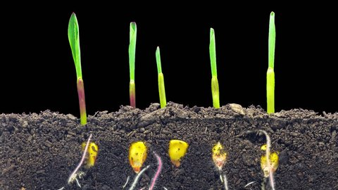 Macro timelapse video of a grain seed growing from the ground in soil, underground and overground view with alpha/Wheat plant growing from soil time lapse with alpha
