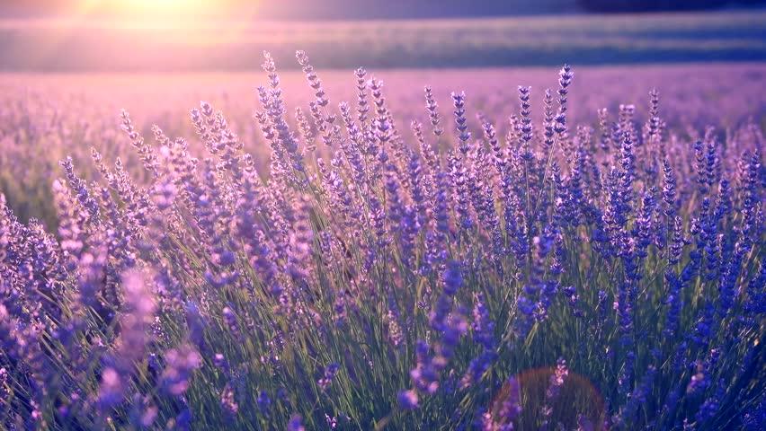 Lavender field in Provence, France. Blooming Violet fragrant lavender flowers. Growing Lavender swaying on wind over sunset sky, harvest. 4K UHD video 3840x2160