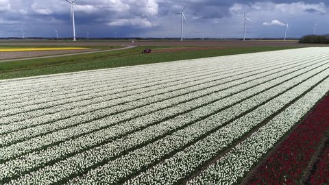Low altitude aerial flying over white tulip field and wind turbines providing sustainable energy by wind power air flow through wind turbines to mechanically power generators for electric power 4k