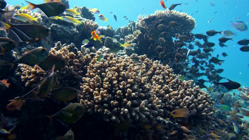 School Of Fishes Vanikoro Sweeper Swims Near Coral Reef In Red Sea Egypt 4k