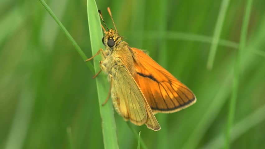 Butterfly European skipper macro Essex skipper Thymelicus lineola is a butterfly in family Hesperiidae