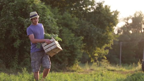 Young farmer in hat going on the field with wooden box of organic carrots and puts it on the ground. Working process on the eco farm at sunset light.
