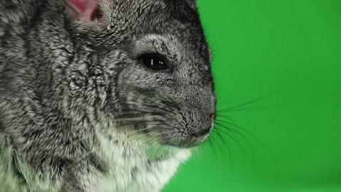 Closeup of muzzle of chinchilla on green screen. Slow motion