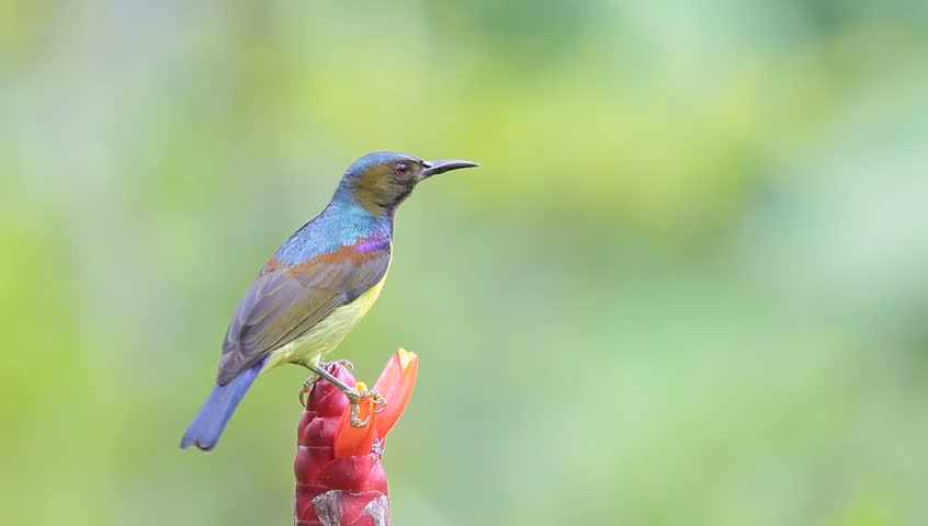 Brown-throated Sunbird eat syrup | Shutterstock HD Video #2874811