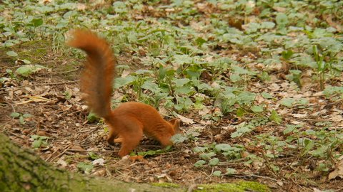 Squirrel in the forest.