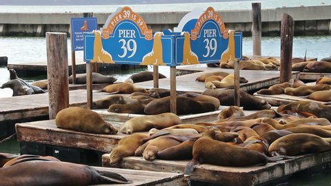 San Francisco, USA - May 16, 2017: Wooden platforms with a colony of relaxing sea lions at Fisherman's Wharf Pier 39