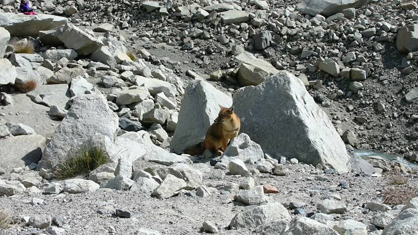 A Andean fox in Torres Del Paine in Chile