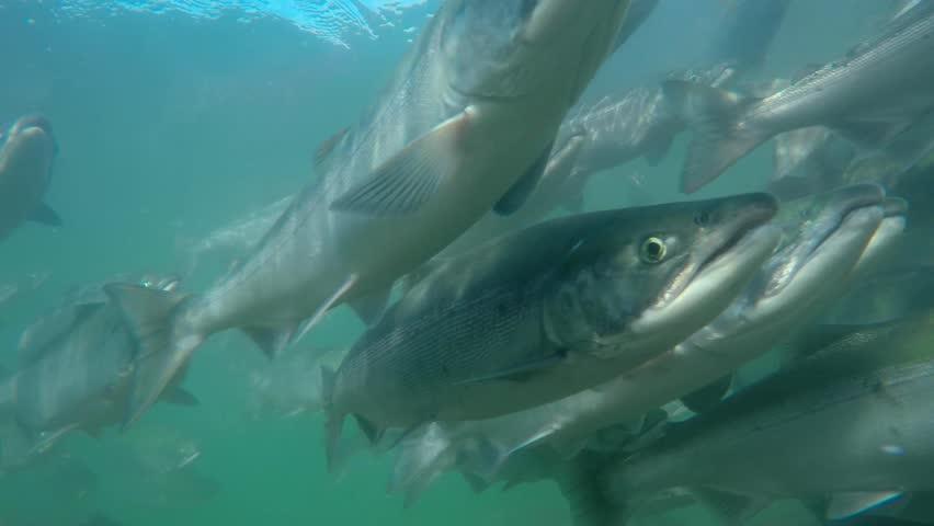 Spawning of sockeye salmon under water. Spawning of salmon.