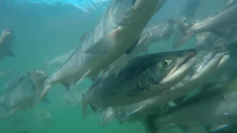 Spawning of sockeye salmon under water. Spawning of salmon.
