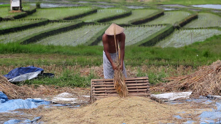 Harvest: strong man threshes rice on bali