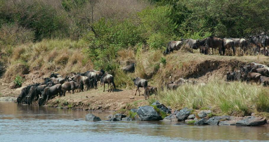 Blue Wildebeest & Burchell'S Zebra Drinking; Maasai Mara Kenya Africa