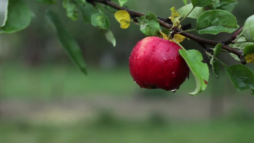 juicy red apple on a tree branch (place for text; shallow DOF)