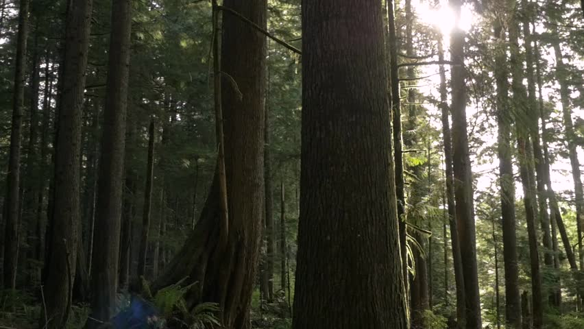Pan of tall trees in a forest | Shutterstock HD Video #28910104