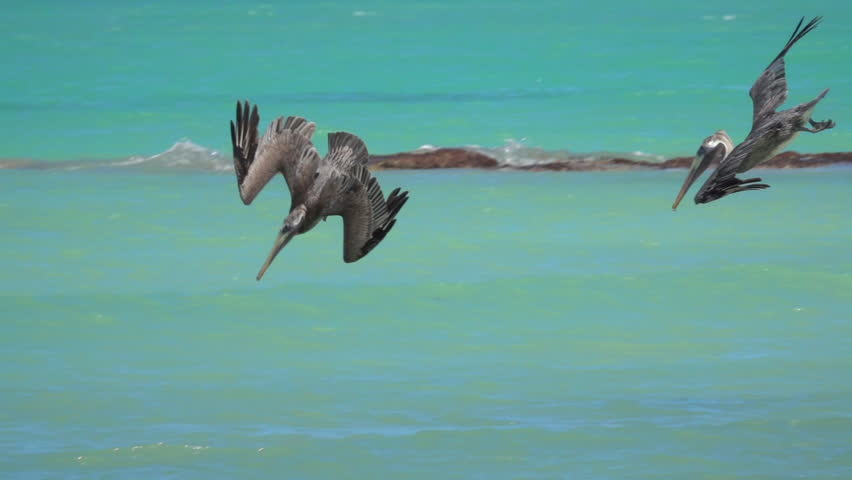 SLOW MOTION, CLOSE UP: Hungry wild pelicans accompanied by a gull hunt fish in beautiful emerald sea, Yucatan peninsula, Mexico. Pelican descending from the sky plunging into the water to catch a meal