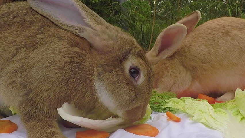 Young Flemish Giant Rabbit In Stock Footage Video 100 Royalty Free 28953244 Shutterstock