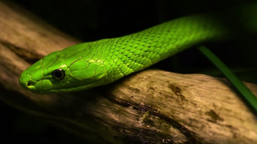 Header of green mamba