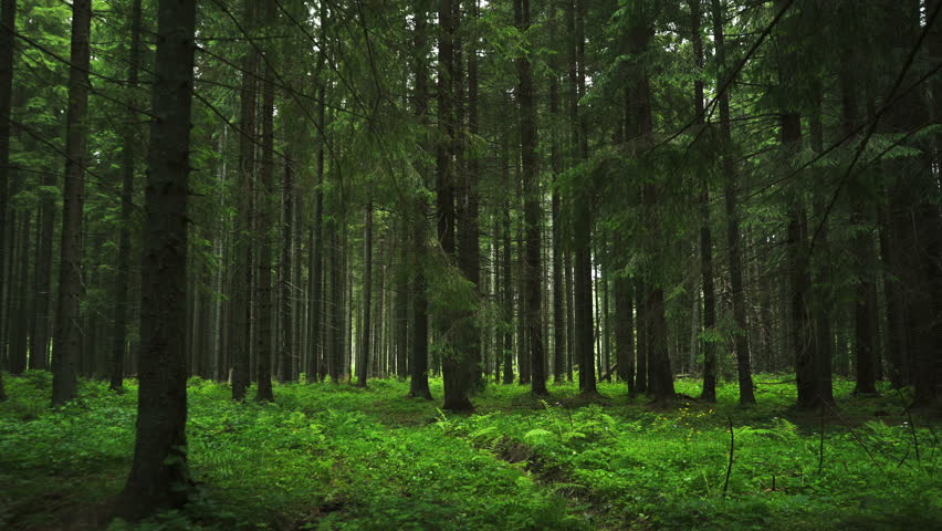 Going inside Forest movement. Forest pattern. traveling camera movement inside the green pine forest. Moths and fir forests with moos on the ground. Green Forest