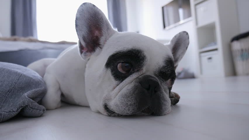 Black and white cute french bulldog is sleeping in white room. 4K video for background of pet shop, clinic.
