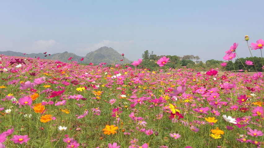 Cosmos flower field landscape color pink, yellow and white. #29103607