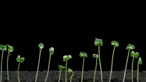 Time-lapse of germinating and growing rapeseed 2a1 in PNG+ format with ALPHA transparency channel isolated on black background
