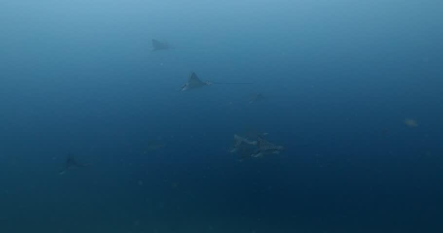 Header of eagle ray