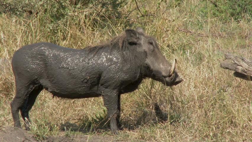 Warthog (Phacochoerus africanus) enjoying his mud bath