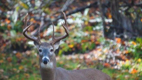 Whitetail Deer mature buck in October
