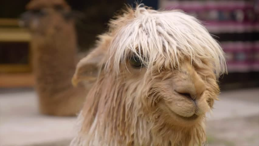 Peruviam Llama and Alpaca smiling in slow motion | Shutterstock HD Video #29307214