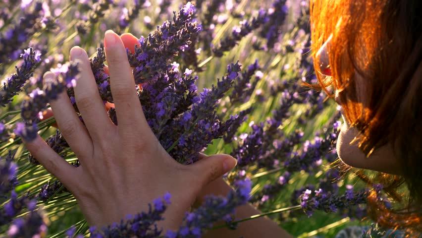 Woman smelling violet lavender flowers at lavender field in Provence, France .