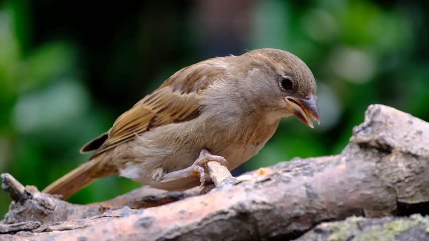 House Sparrow feeding on home made garden feeding station.